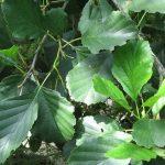 Alder – Alnus glutinosa