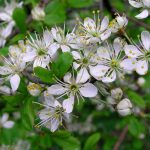 Blackthorn – Prunus spinosa