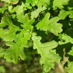 English oak – Quercus robur